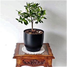 kumquat bonsai